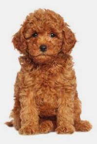 Bobby Dog